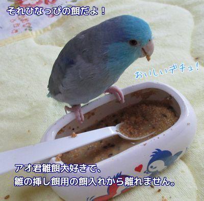 雛餌好きなアオ君