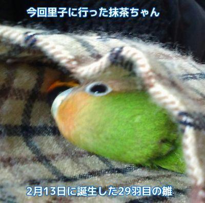 抹茶ちゃん1