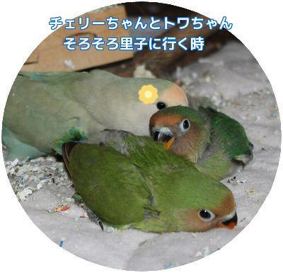 チェリー・トワ②
