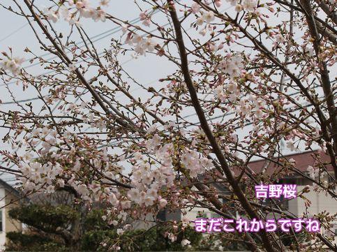 今年の桜②