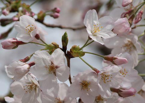 今年の桜③