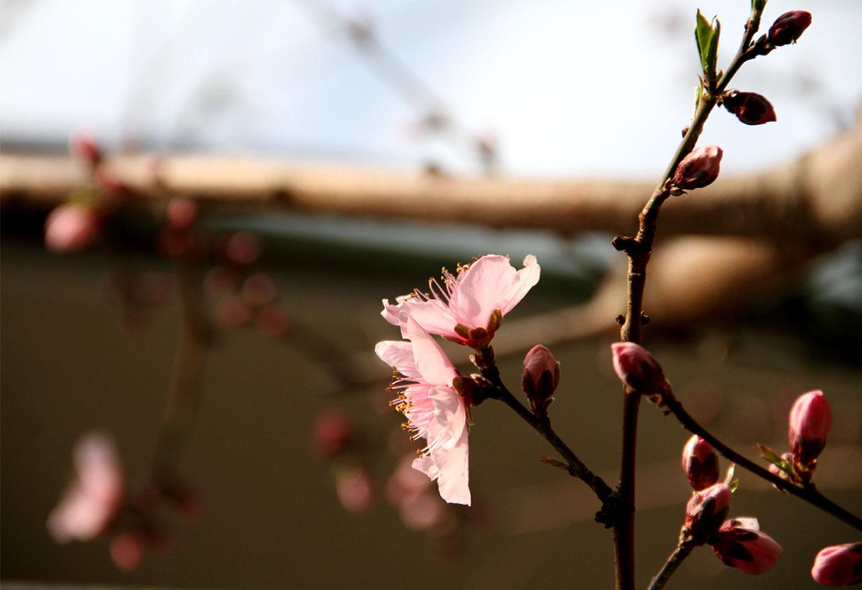 花冷えの中の桃開花 (1)