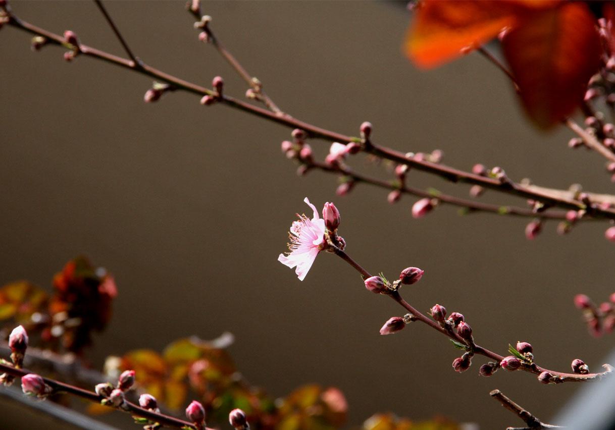 花冷えの中の桃開花 (2)