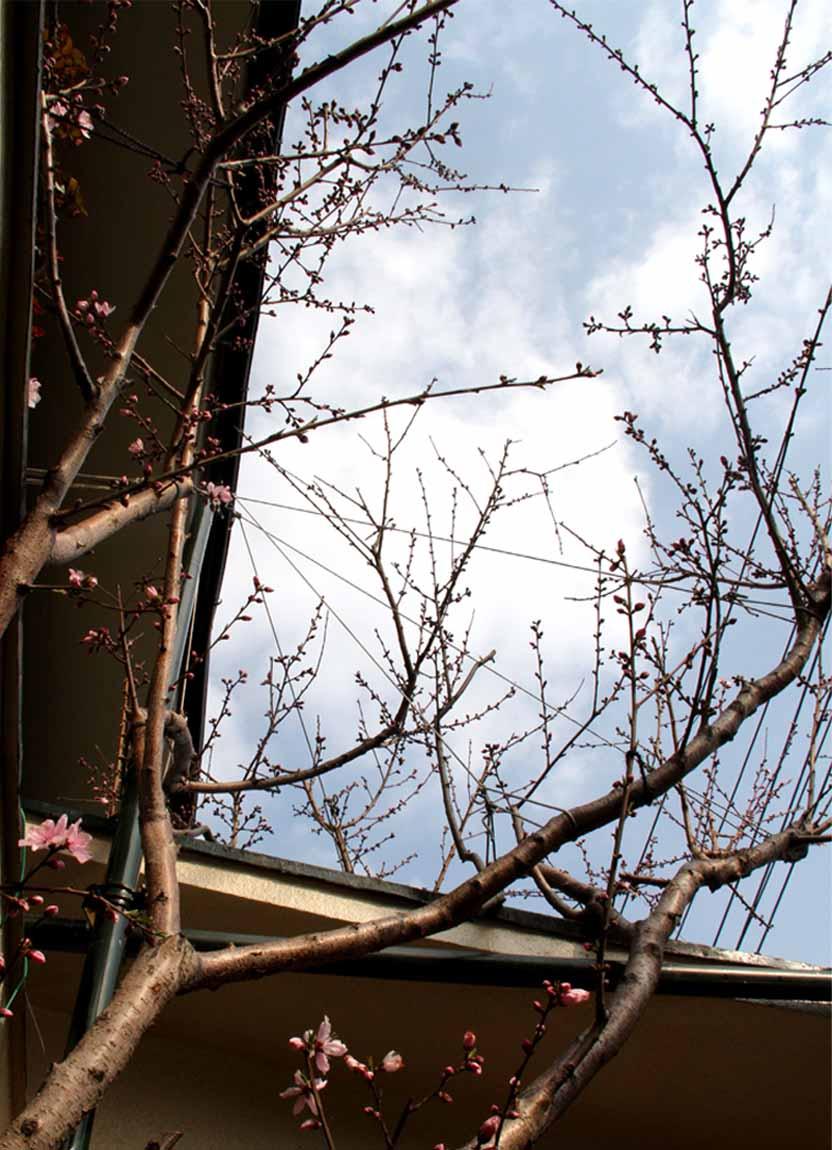 花冷えの中の桃開花 (3)