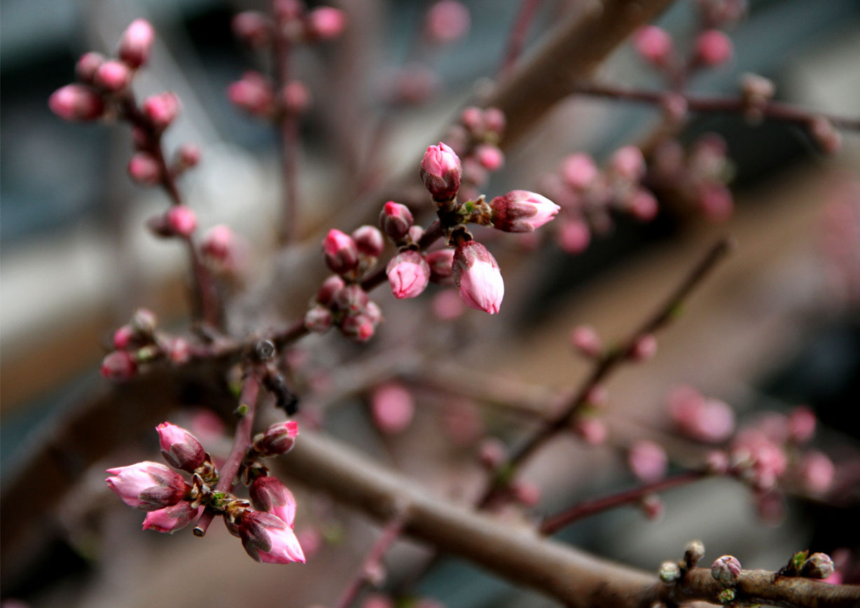 花冷えの中の桃開花 (4)