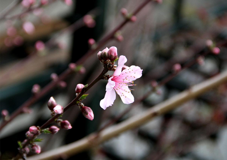 花冷えの中の桃開花 (5)
