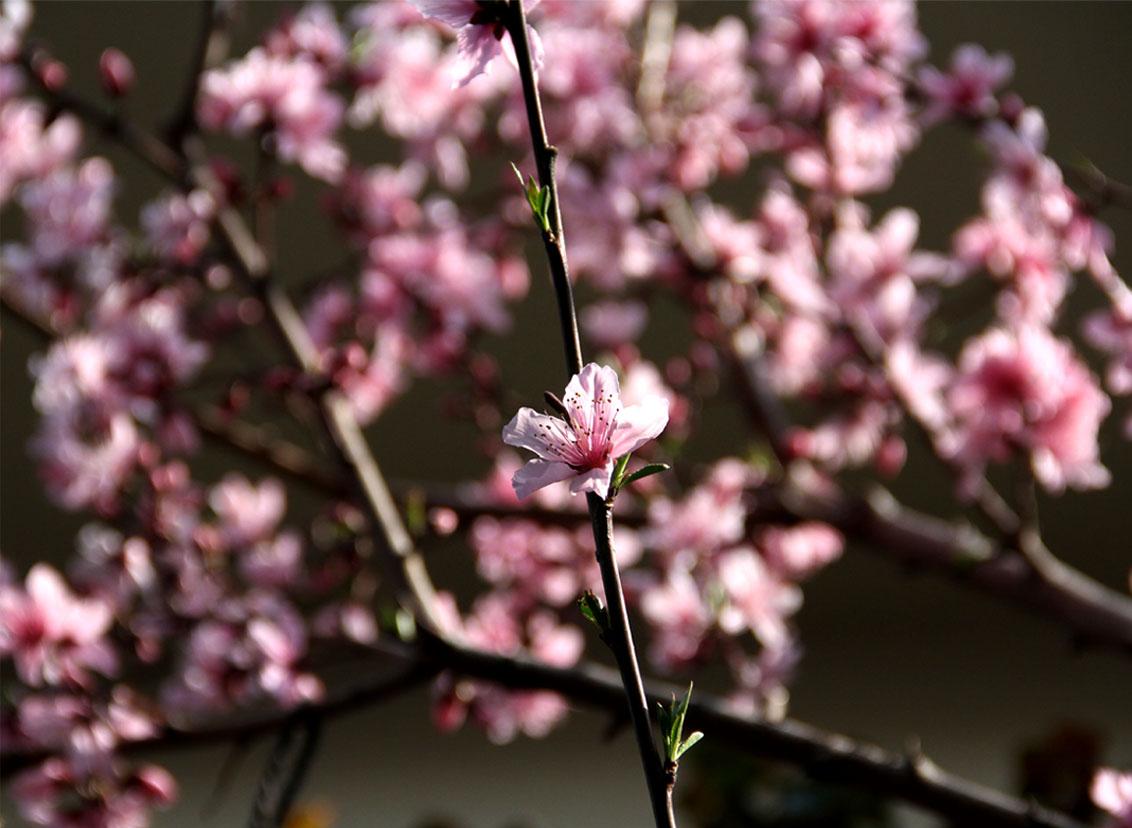 3月31日の桃模様(1)