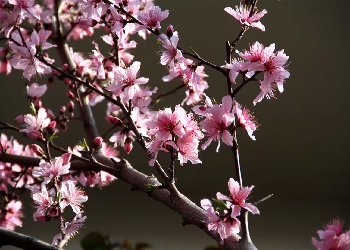 3月31日の桃模様(2)