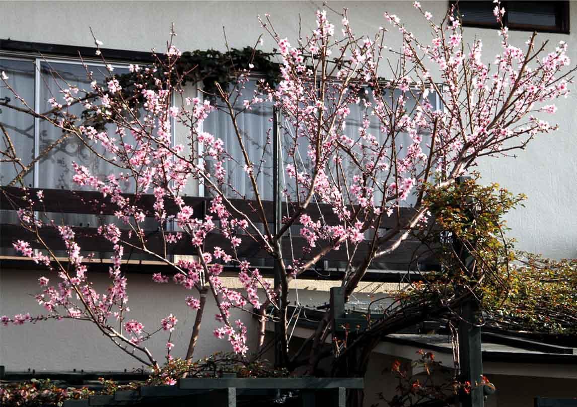 3月31日の桃模様(5)