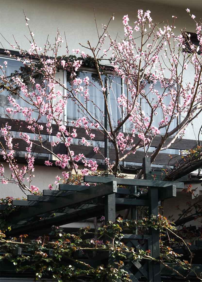 3月31日の桃模様(6)