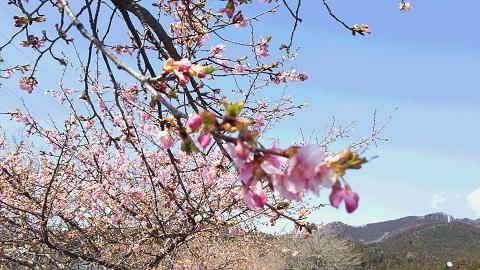 関谷アグリパル桜