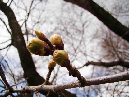 愛宕山公園の桜蕾