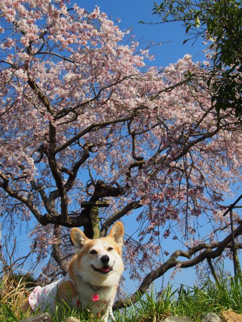 節ちゃんとしだれ桜