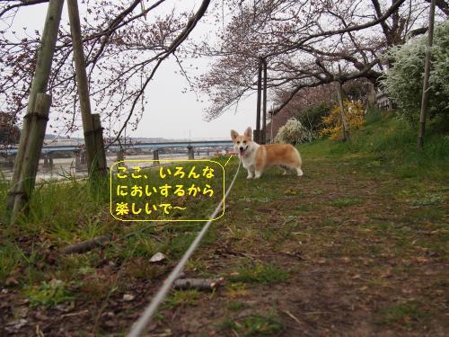 河川敷の桜の下のちっちゃい芹ちゃん