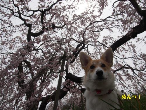しだれ桜にぬんっ