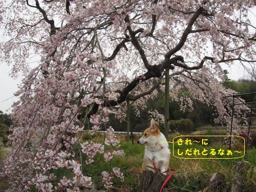 しだれ桜を見る芹ちゃん