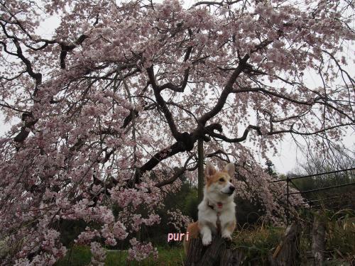 しだれ桜、、