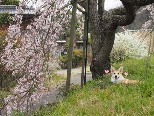 しだれ桜の下、休憩の芹ちゃん