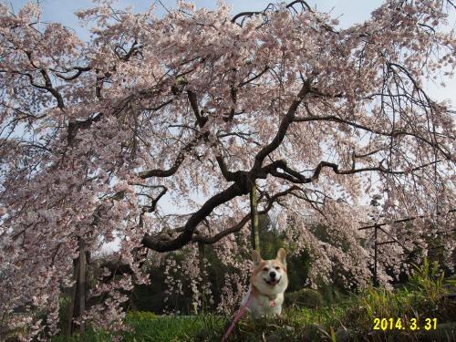 節ちゃんとしだれ桜 さっすがぁ