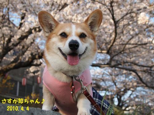 節ちゃんと桜