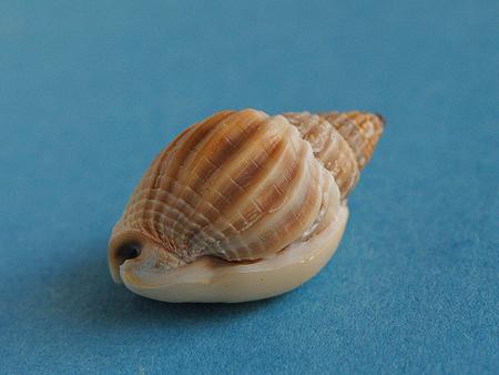 オオカニノテムシロ-殻底