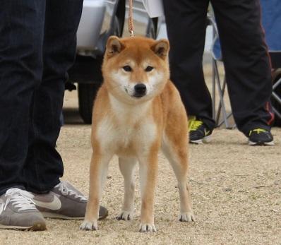 2016-3-6徳島展壮犬雌1