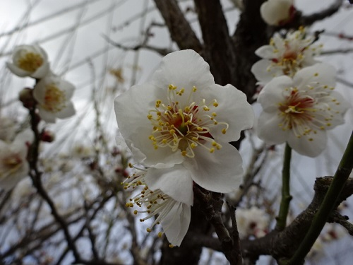 2-15梅の花