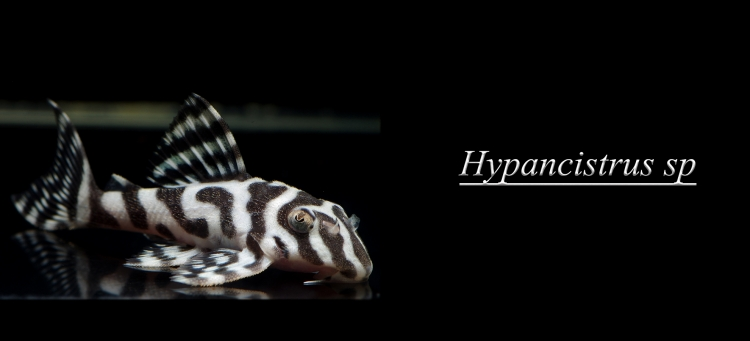 hypancistrus.jpg