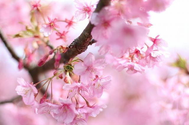IMG_6721河津桜