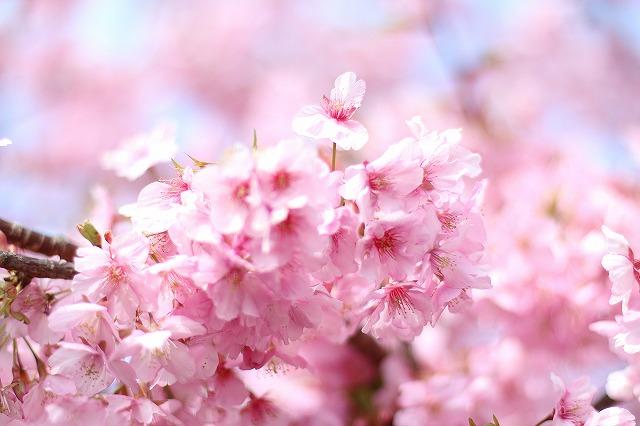 IMG_6729河津桜