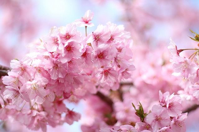 IMG_6732河津桜