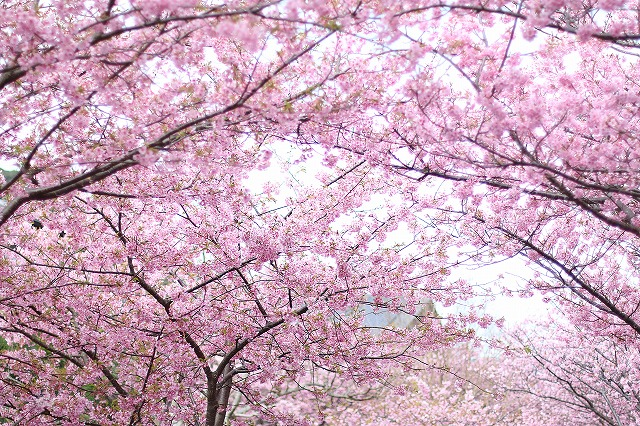 IMG_6744河津桜