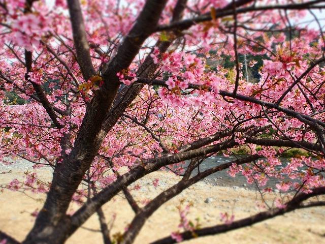 P2240020河津桜