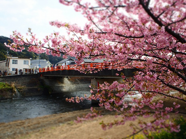 P2240021河津桜