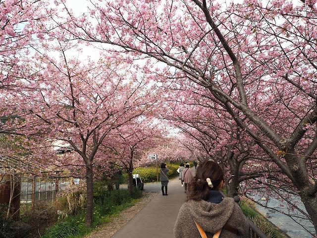 P2240028河津桜
