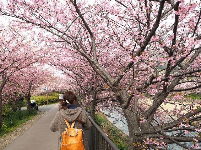 P2240029河津桜