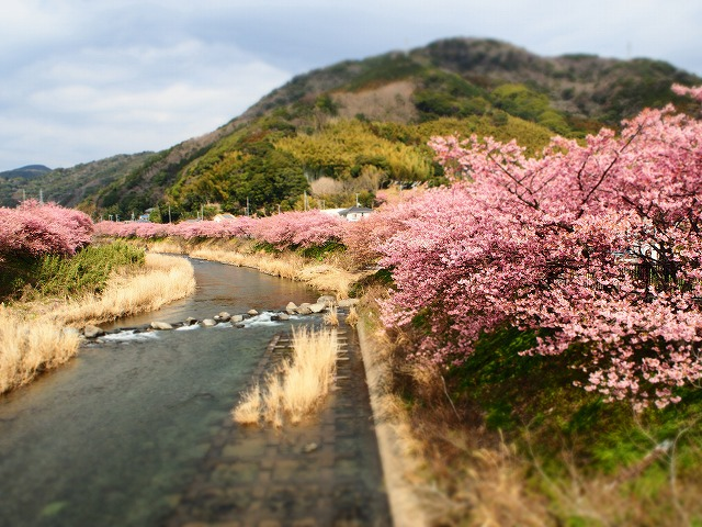 P2240031河津桜