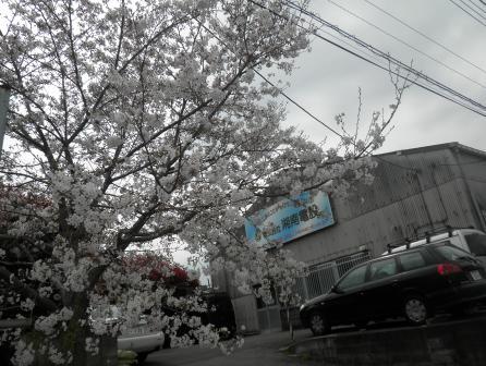 湘南桜2016