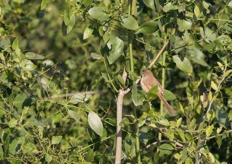 アジアマミハウチワドリ1