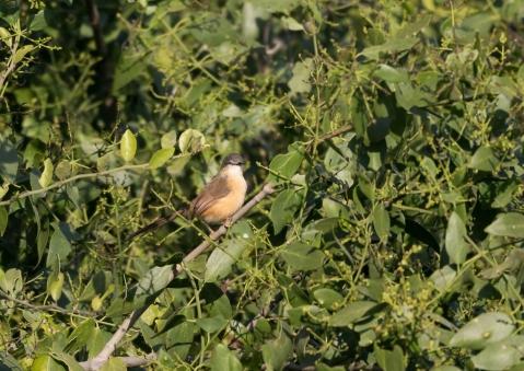 アジアマミハウチワドリ2