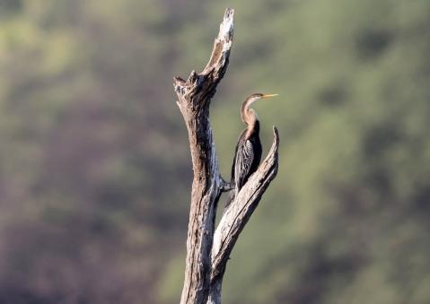 アジアヘビウ1