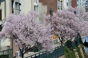 桜2016b