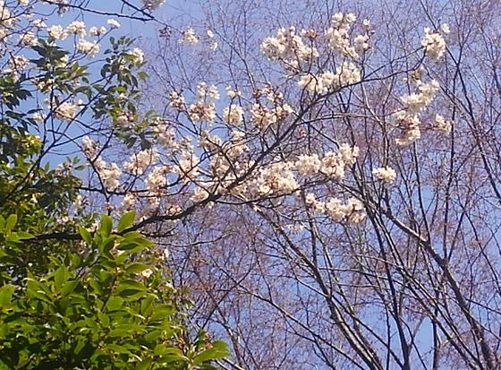 桜s20160327221324729
