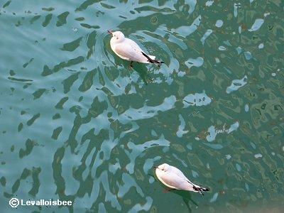 泳ぐユリカモメ割と小さな水かきdownsize
