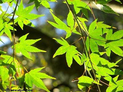 いまだ瑞々しい楓の緑downsize