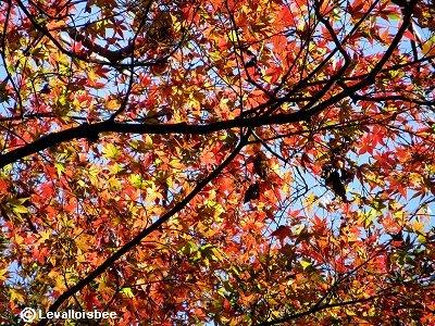 淡い紅葉に秋の陽が透けてゆくdownsize