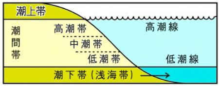 潮間帯は上部・中部・下部の3つに分けれれる