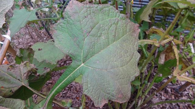 葉は、葉柄にヒレ状の翼がある
