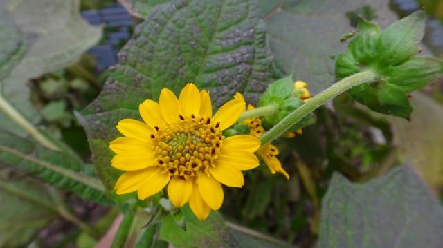 花は、舌状花が十数枚ある
