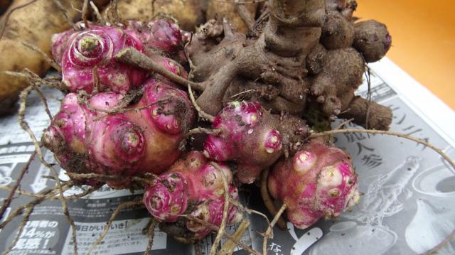 ヤーコン栽培は春にこの赤い芽を植える
